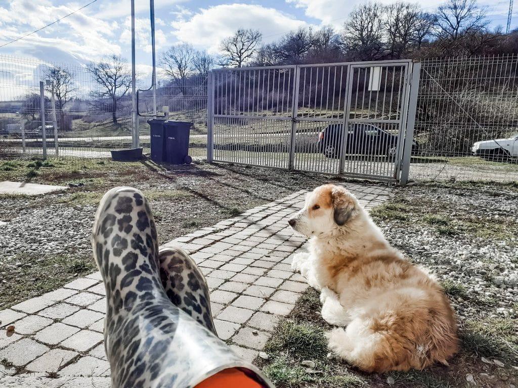 adopt a dog arnie after